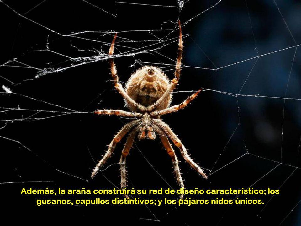 Además, la araña construirá su red de diseño característico; los gusanos, capullos distintivos; y los pájaros nidos únicos.