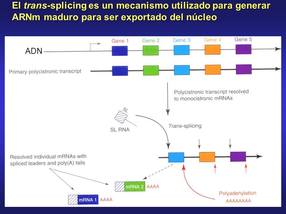 El trans-splicing es un mecanismo utilizado para generar ARNm maduro para ser exportado del núcleo