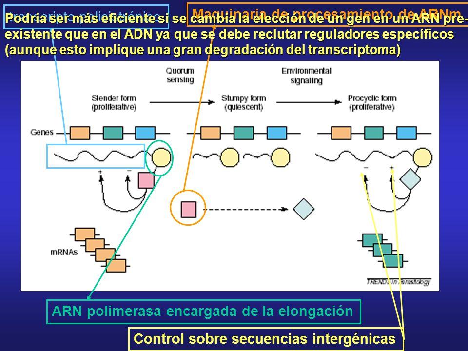 transcripto policistrónico Maquinaria de procesamiento de ARNm