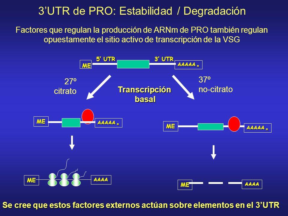 3'UTR de PRO: Estabilidad / Degradación