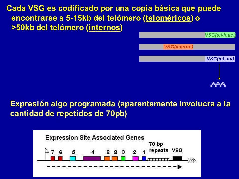 Cada VSG es codificado por una copia básica que puede encontrarse a 5-15kb del telómero (teloméricos) o >50kb del telómero (internos)