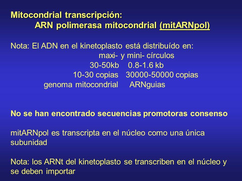Mitocondrial transcripción: ARN polimerasa mitocondrial (mitARNpol)