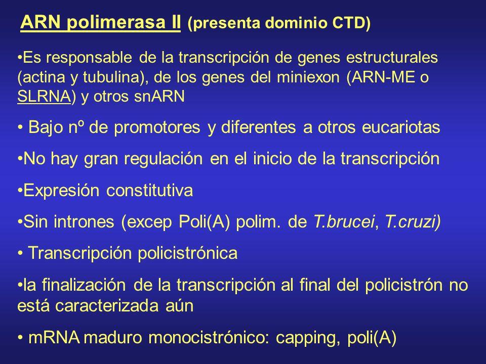 ARN polimerasa II (presenta dominio CTD)