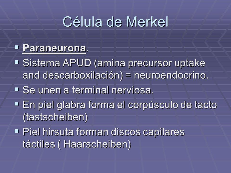 Célula de Merkel Paraneurona.