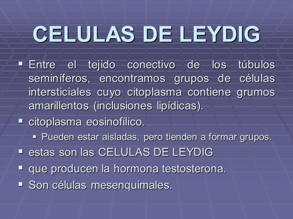 CELULAS DE LEYDIG