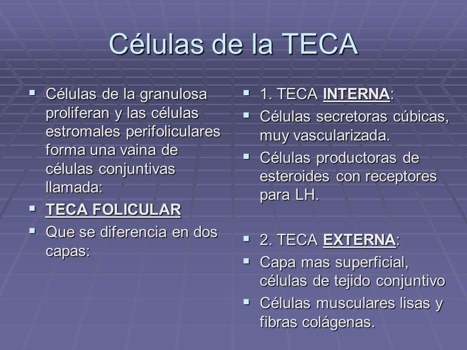 Células de la TECA Células de la granulosa proliferan y las células estromales perifoliculares forma una vaina de células conjuntivas llamada: