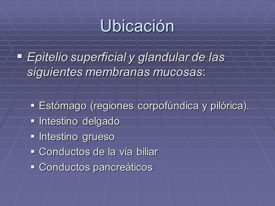 Ubicación Epitelio superficial y glandular de las siguientes membranas mucosas: Estómago (regiones corpofúndica y pilórica).