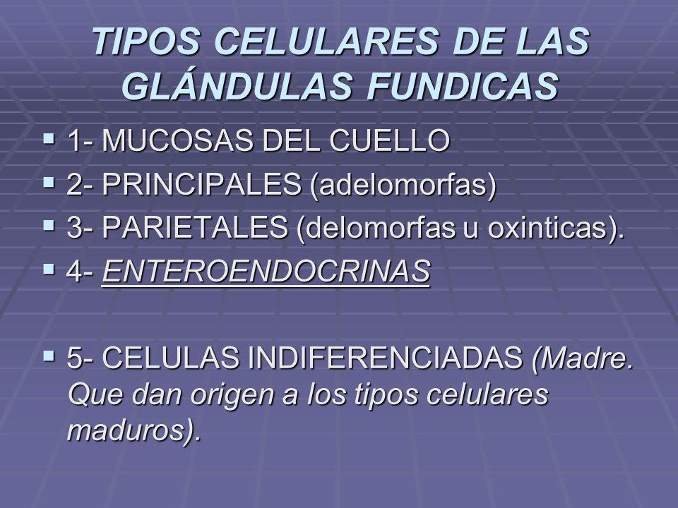 TIPOS CELULARES DE LAS GLÁNDULAS FUNDICAS