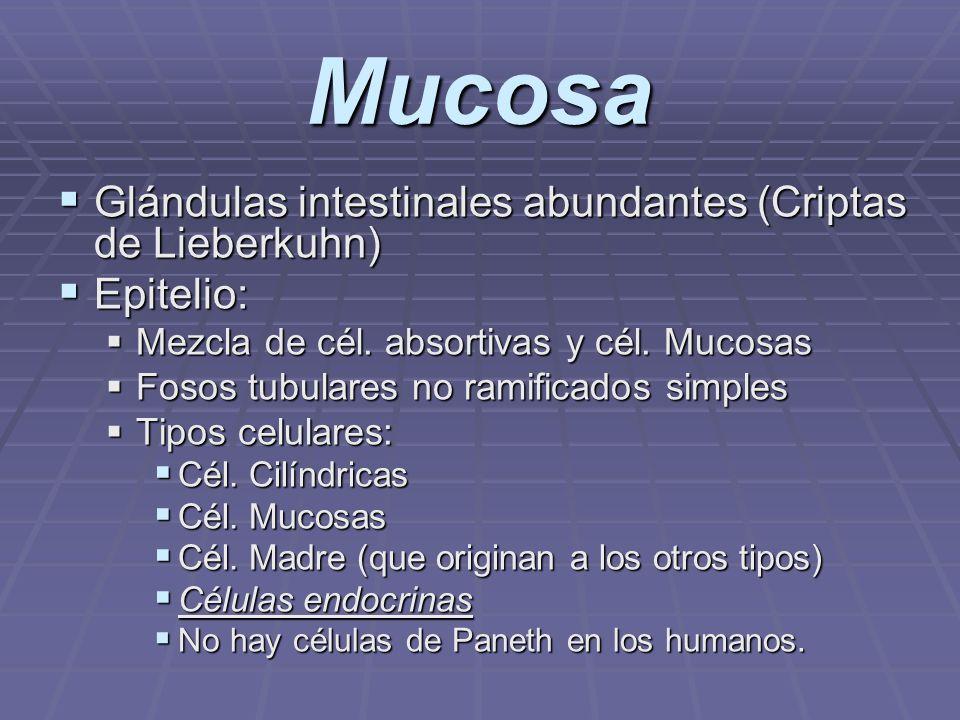 Mucosa Glándulas intestinales abundantes (Criptas de Lieberkuhn)