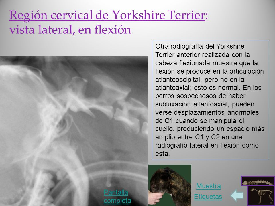 Región cervical de Yorkshire Terrier: vista lateral, en flexión
