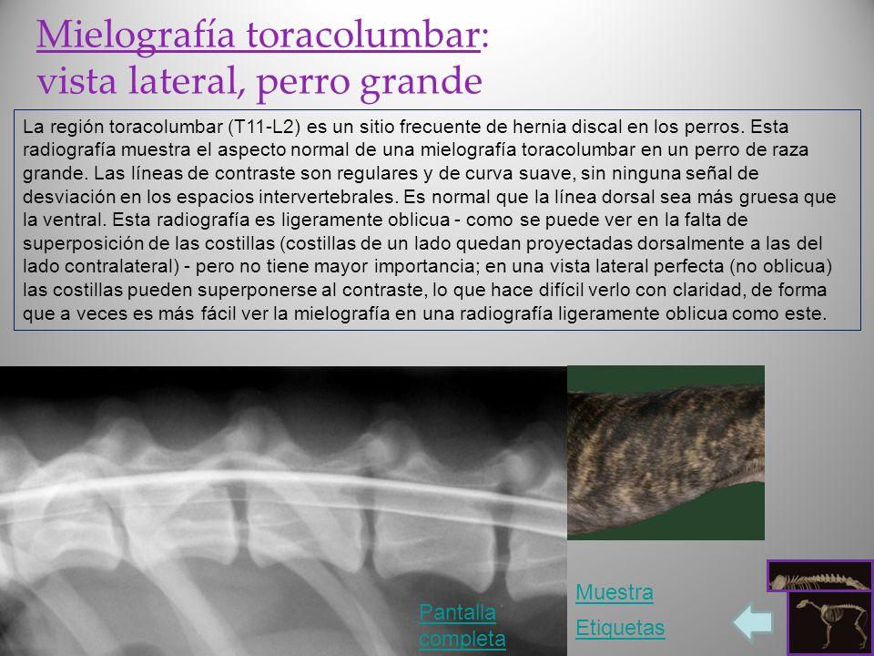 Mielografía toracolumbar: vista lateral, perro grande