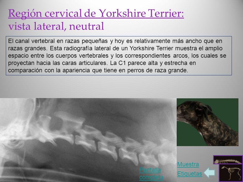 Región cervical de Yorkshire Terrier: vista lateral, neutral