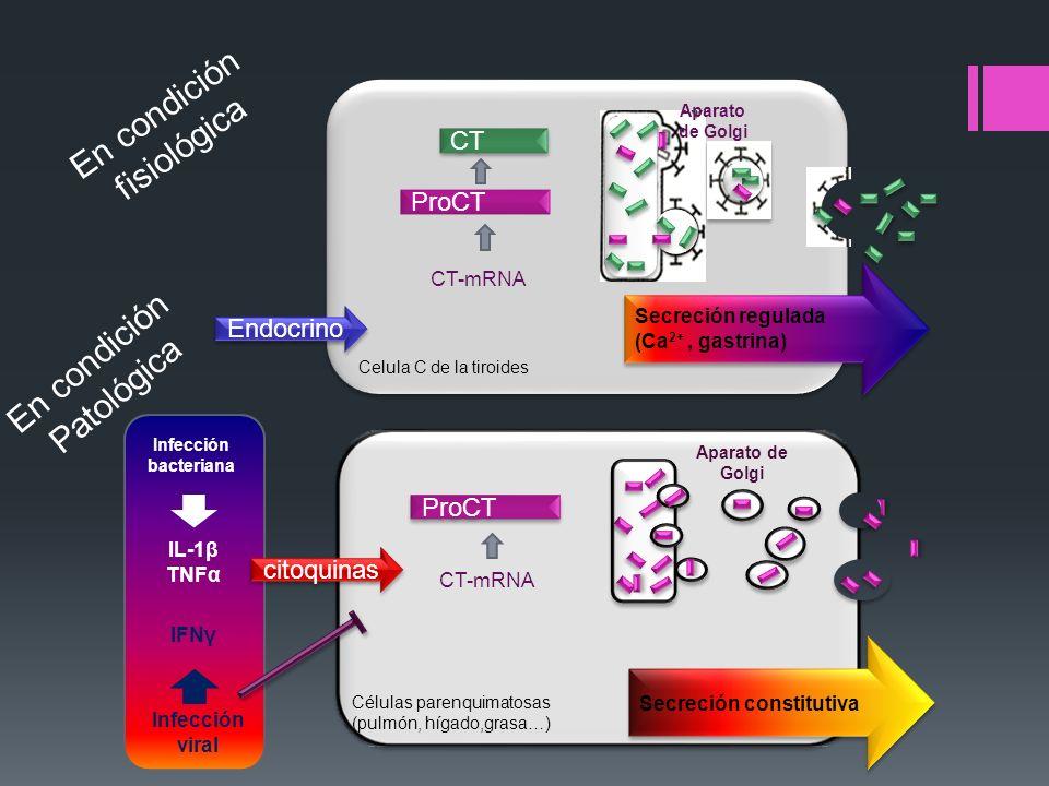 En condición fisiológica En condición Patológica CT ProCT Endocrino
