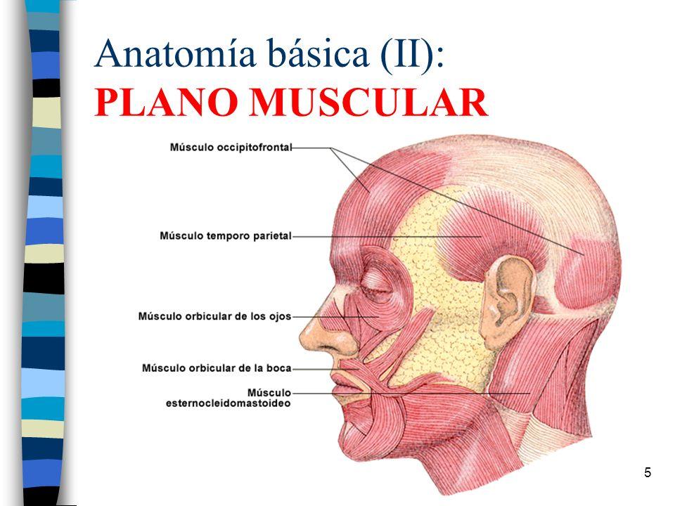 Dorable Anatomía Básica Del Músculo Colección de Imágenes - Imágenes ...