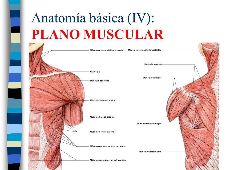 Increíble Anatomía Básica Del Músculo Bandera - Anatomía de Las ...