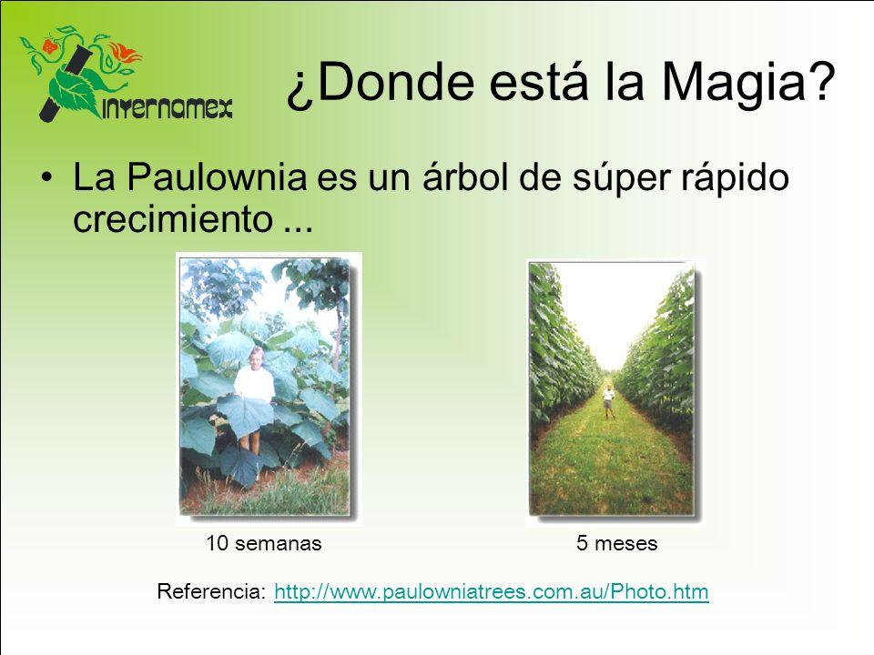 ¿Donde está la Magia La Paulownia es un árbol de súper rápido crecimiento ... 10 semanas. 5 meses.