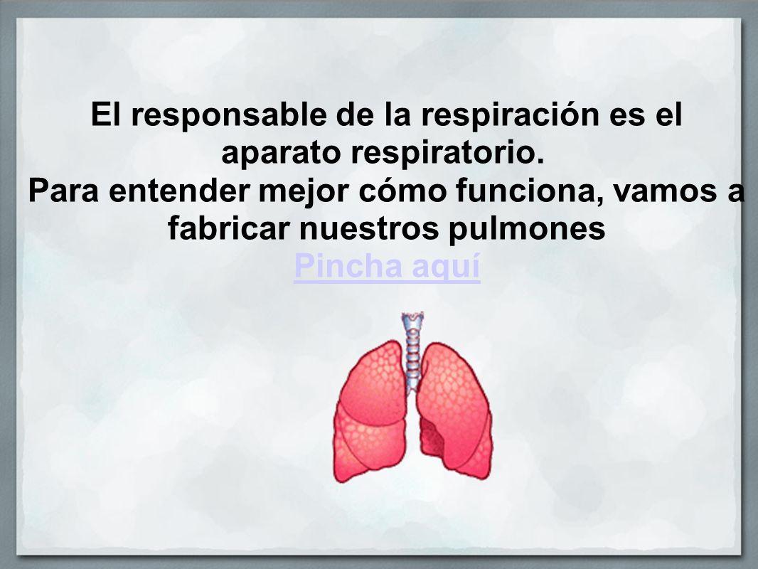 El responsable de la respiración es el aparato respiratorio