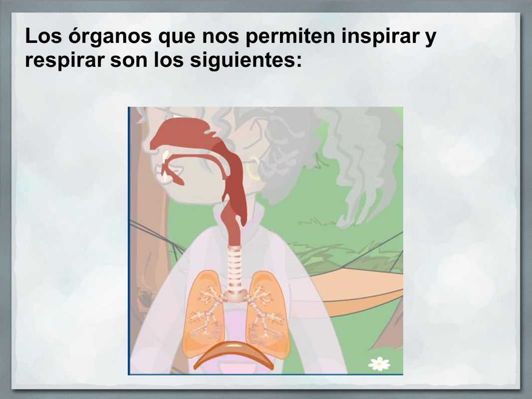 Los órganos que nos permiten inspirar y respirar son los siguientes: