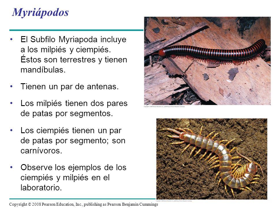 Myriápodos El Subfilo Myriapoda incluye a los milpiés y ciempiés. Éstos son terrestres y tienen mandíbulas.