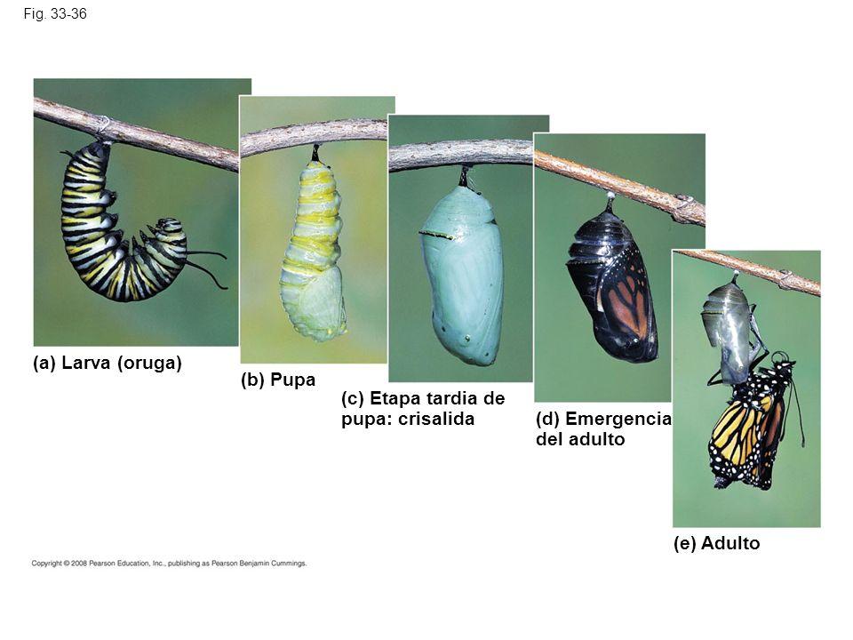 (a) Larva (oruga) (b) Pupa (c) Etapa tardia de pupa: crisalida