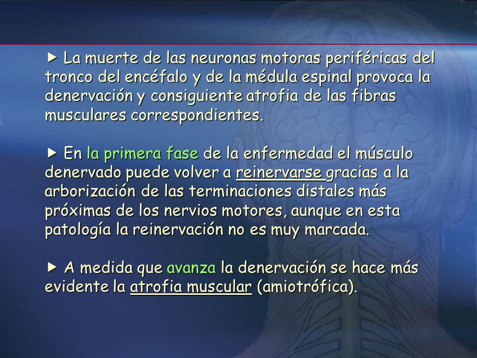  La muerte de las neuronas motoras periféricas del tronco del encéfalo y de la médula espinal provoca la denervación y consiguiente atrofia de las fibras musculares correspondientes.