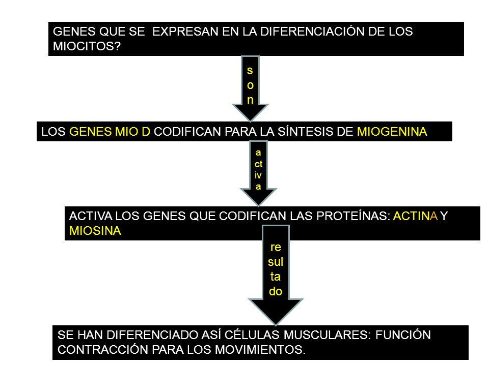 GENES QUE SE EXPRESAN EN LA DIFERENCIACIÓN DE LOS MIOCITOS
