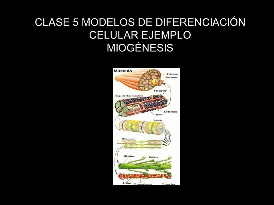 CLASE 5 MODELOS DE DIFERENCIACIÓN CELULAR EJEMPLO MIOGÉNESIS