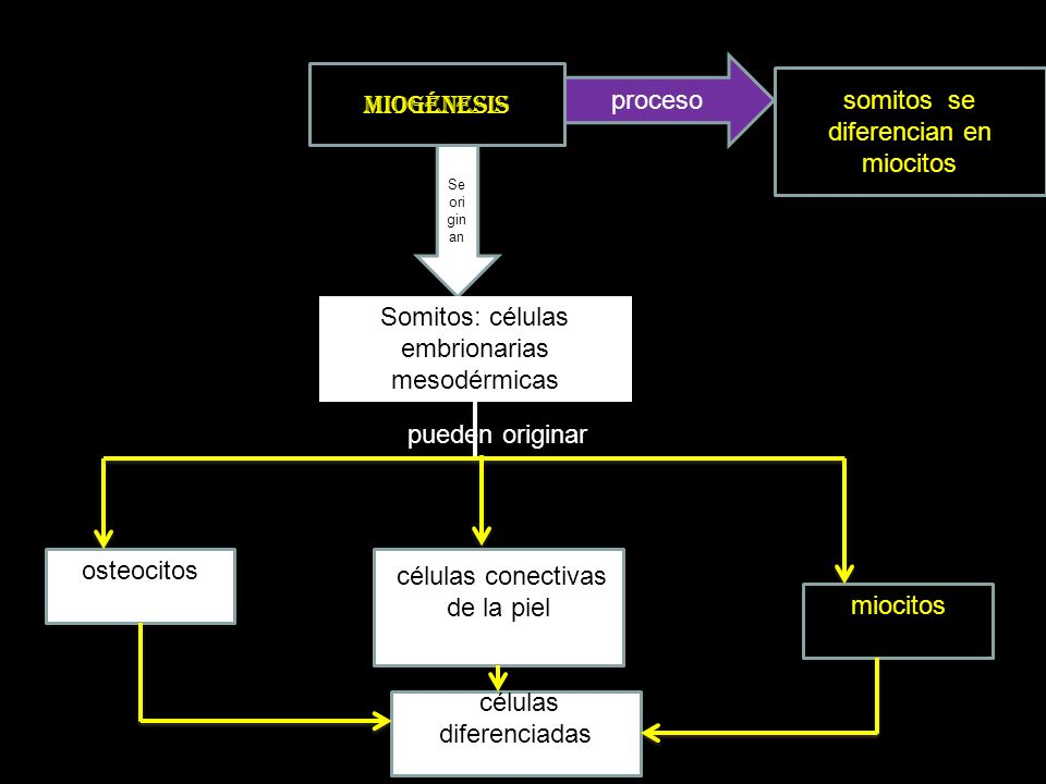 somitos se diferencian en miocitos