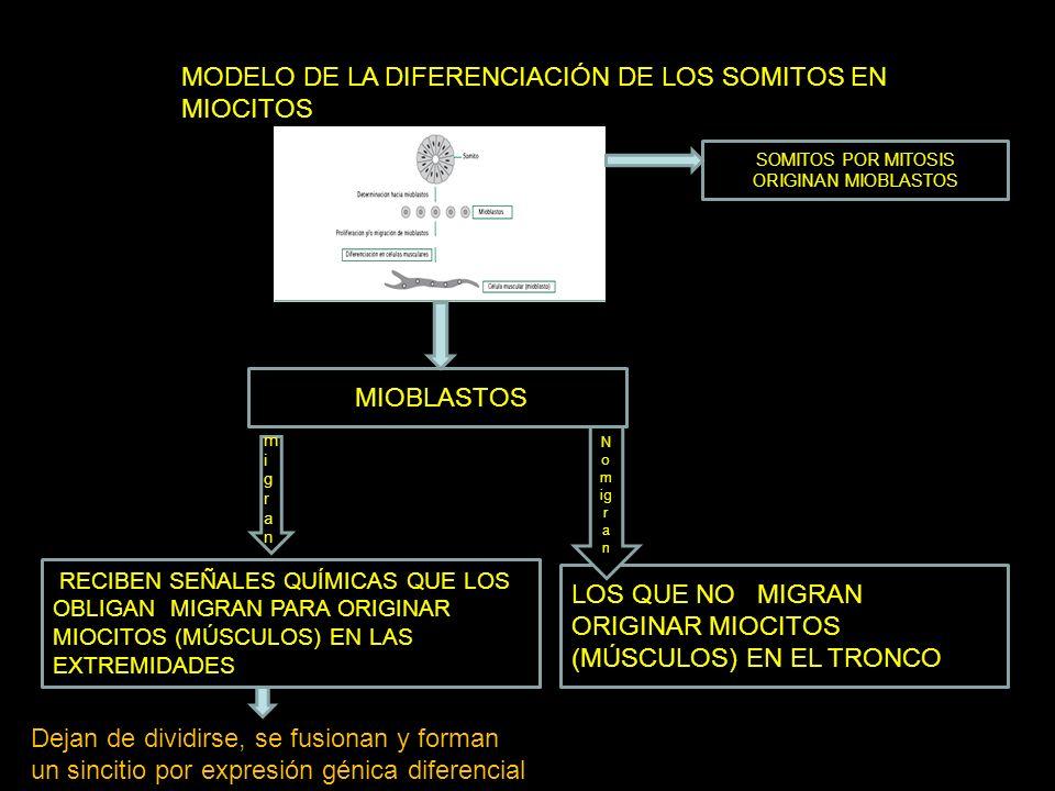 MODELO DE LA DIFERENCIACIÓN DE LOS SOMITOS EN MIOCITOS