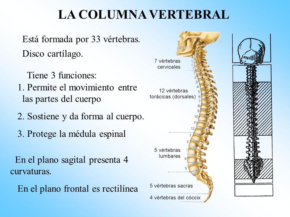 LA COLUMNA VERTEBRAL Está formada por 33 vértebras. Disco cartílago.