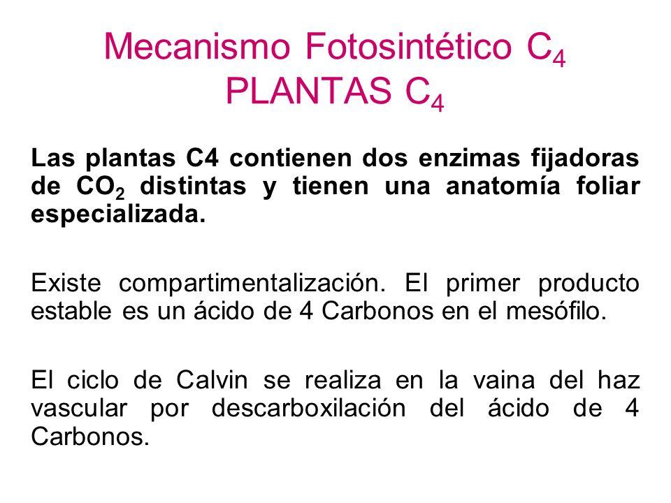 Mecanismo Fotosintético C4 PLANTAS C4