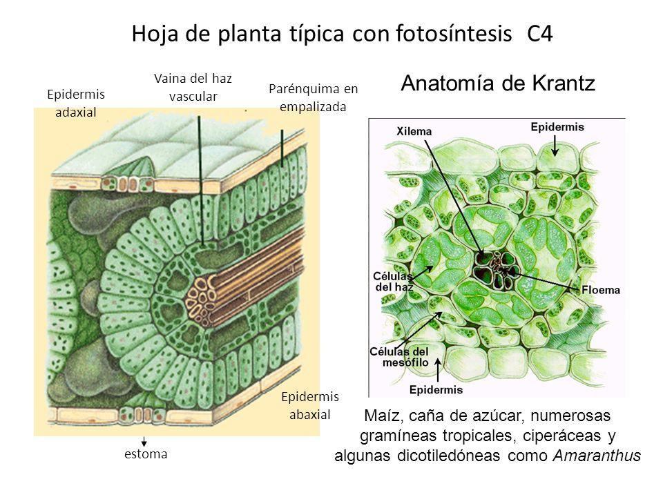 Hoja de planta típica con fotosíntesis C4