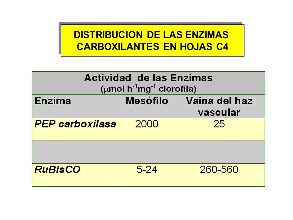 DISTRIBUCION DE LAS ENZIMAS CARBOXILANTES EN HOJAS C4