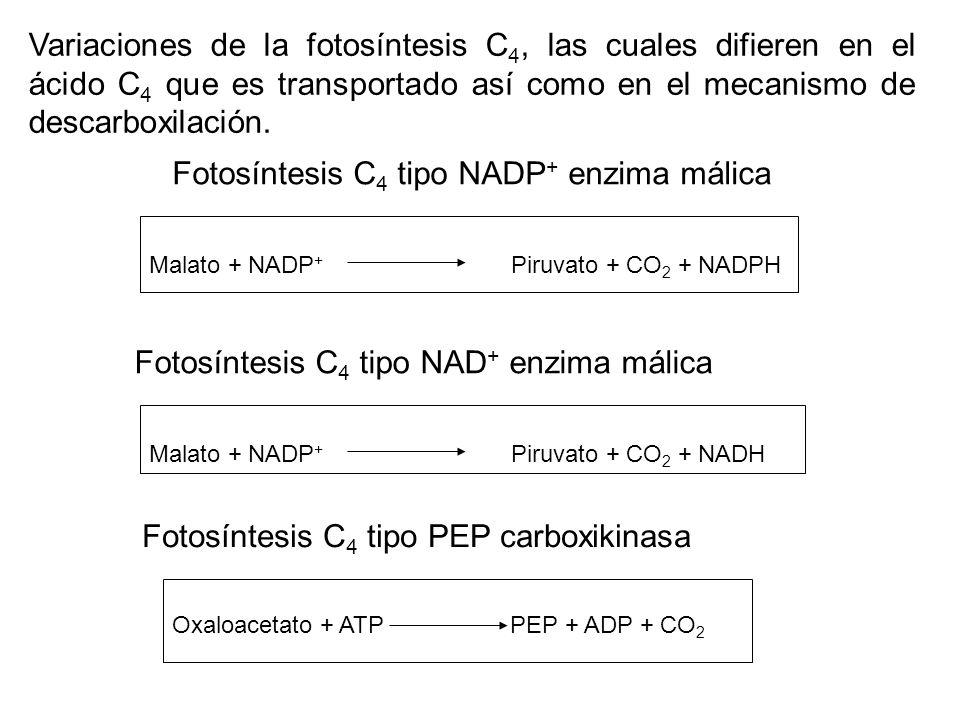 Fotosíntesis C4 tipo NADP+ enzima málica