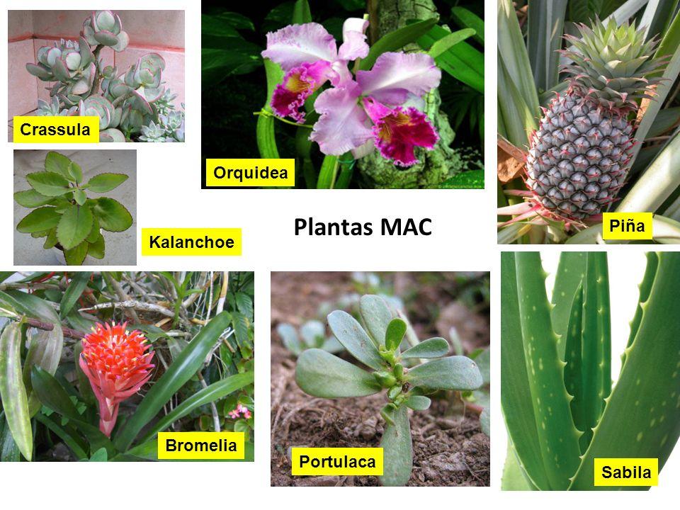 Crassula Orquidea Plantas MAC Piña Kalanchoe Bromelia Portulaca Sabila