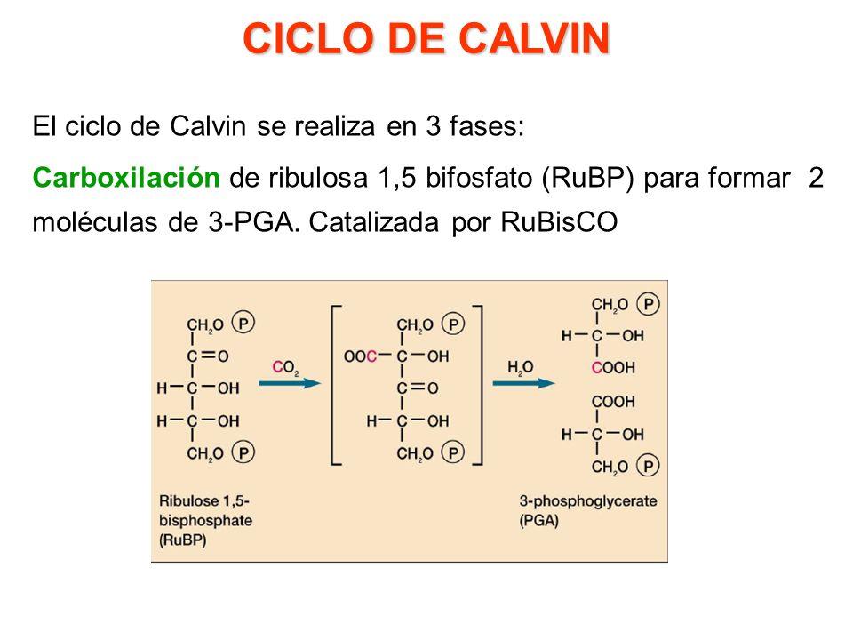 CICLO DE CALVIN El ciclo de Calvin se realiza en 3 fases: