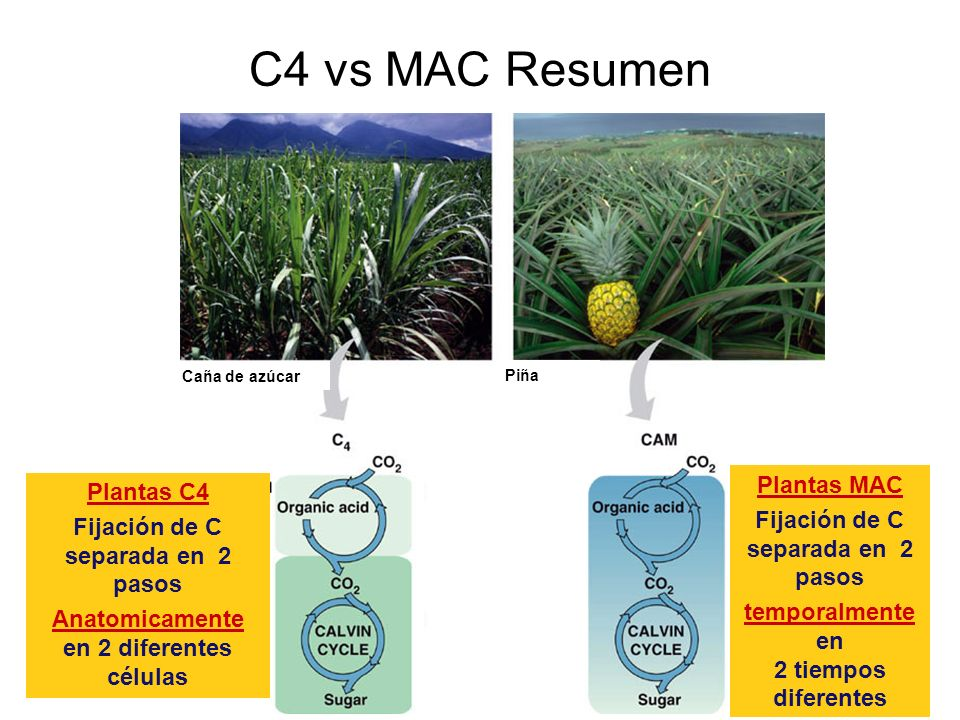 C4 vs MAC Resumen Plantas MAC Plantas C4
