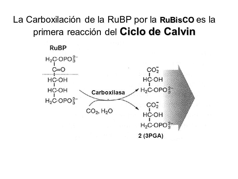 La Carboxilación de la RuBP por la RuBisCO es la primera reacción del Ciclo de Calvin