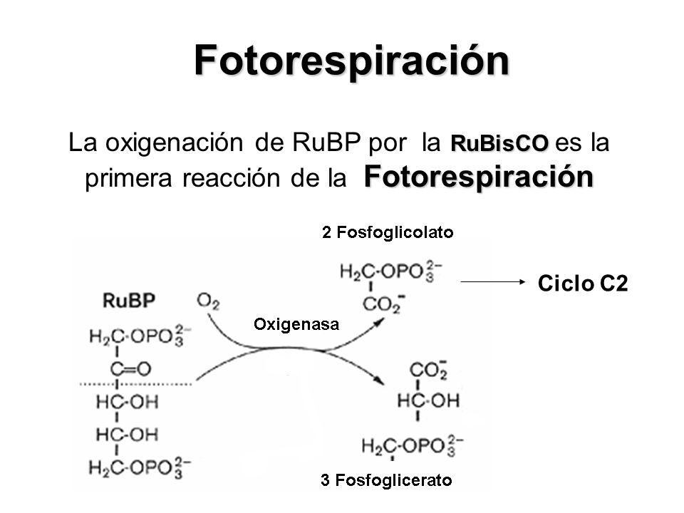 Fotorespiración La oxigenación de RuBP por la RuBisCO es la primera reacción de la Fotorespiración.