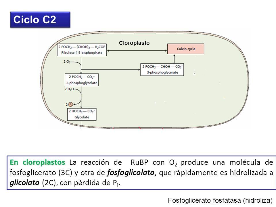 Ciclo C2 Cloroplasto.
