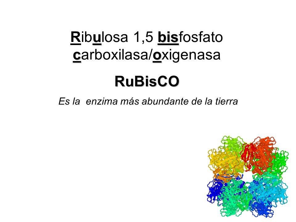 Ribulosa 1,5 bisfosfato carboxilasa/oxigenasa RuBisCO
