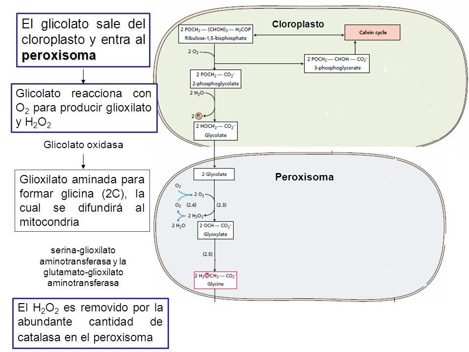 El glicolato sale del cloroplasto y entra al peroxisoma