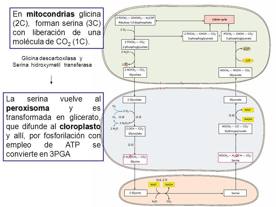 Glicina descarboxilasa y Serina hidroxymetil transferasa