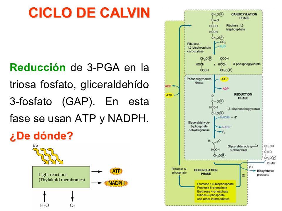 CICLO DE CALVIN Reducción de 3-PGA en la triosa fosfato, gliceraldehído 3-fosfato (GAP).