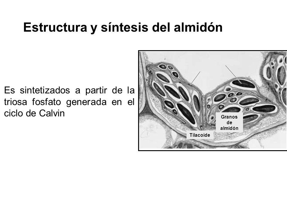 Estructura y síntesis del almidón