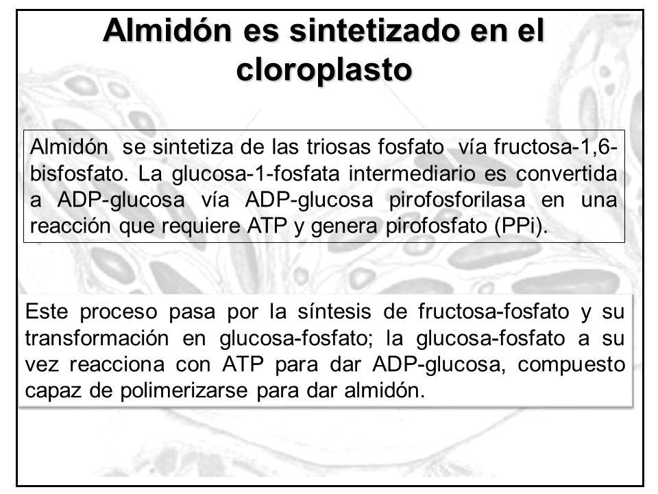 Almidón es sintetizado en el cloroplasto