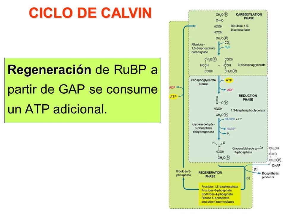 CICLO DE CALVIN Regeneración de RuBP a partir de GAP se consume un ATP adicional.