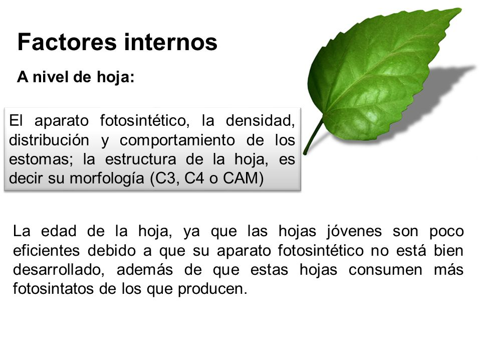 Factores internos A nivel de hoja: