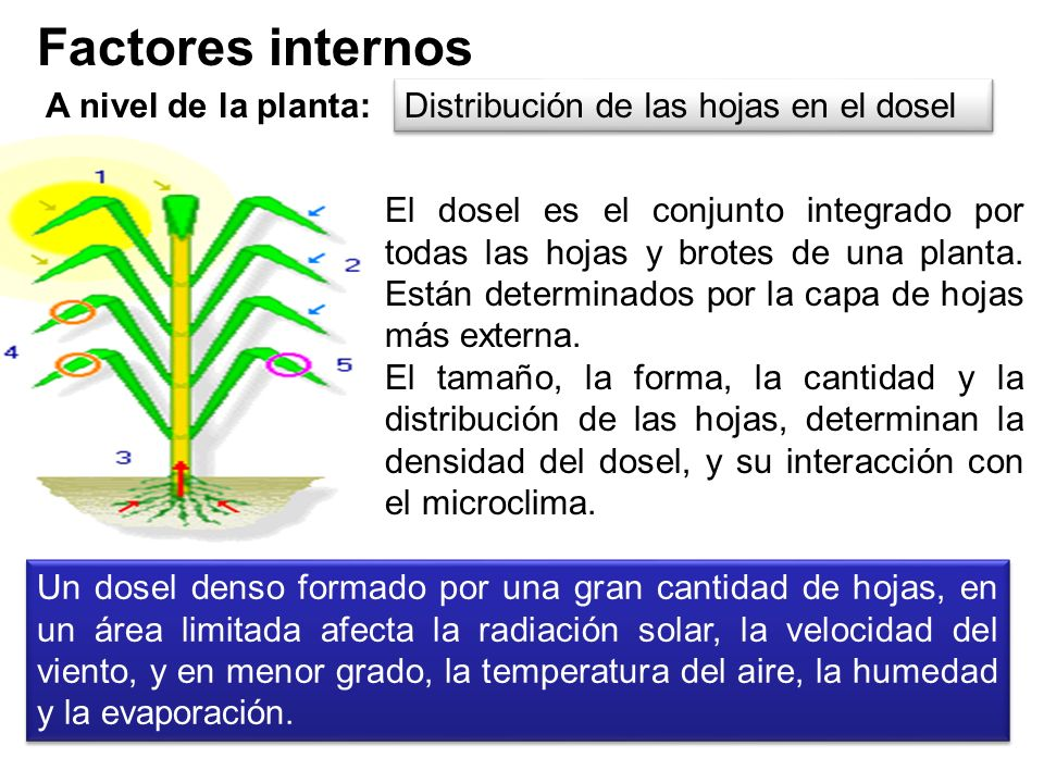 Factores internos A nivel de la planta: