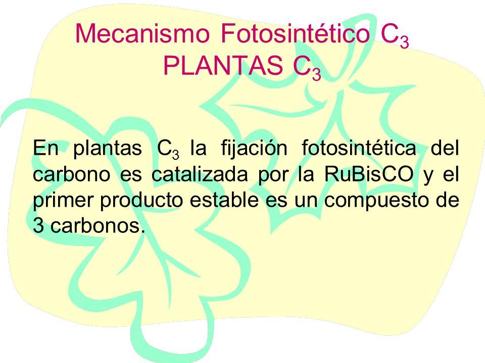 Mecanismo Fotosintético C3 PLANTAS C3